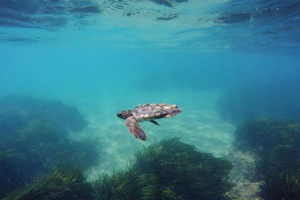 Tortuga, biodiversidad del Mediterráneo